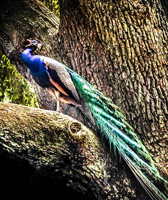 Peacock Photograph - Gods Heavenly Creatures by Karen Wiles
