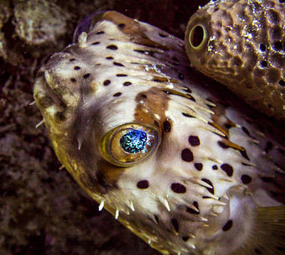 Porcupine Fish Photograph - Goggly Eye by Jean Noren
