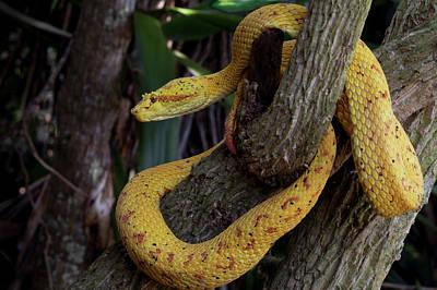 Gold Color Morph Of The Eyelash Viper Print by Thomas Wiewandt