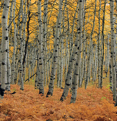 Golden Aspen Forest Print by Johnny Adolphson