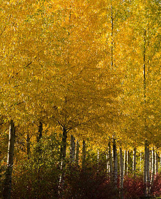 Spring Peepers Photograph - Golden Aspens by Don Schwartz