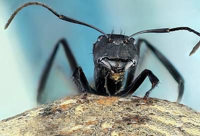 Central American Wildlife Photograph - Golden Carpenter Ant by Nicolas Reusens