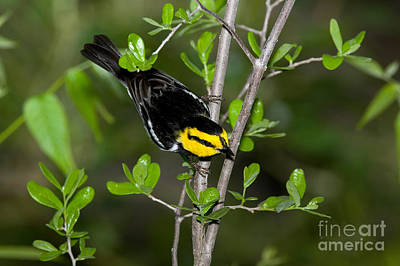 Warbler Photograph - Golden Cheeked Warbler by Anthony Mercieca