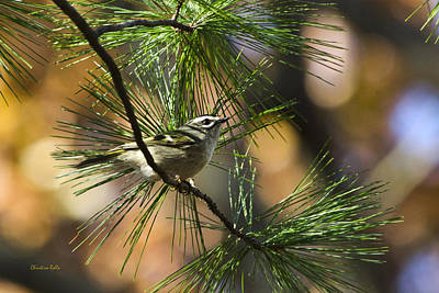 Warbler Photograph - Golden-crowned Kinglet by Christina Rollo