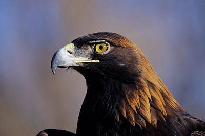 Golden Eagle Photograph - Golden Eagle (aquila Chrysaetos by Richard and Susan Day