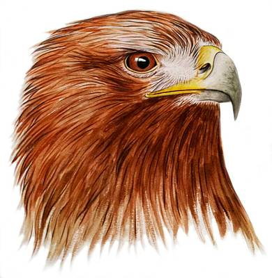 Hawk Drawing - Golden Eagle by Ele Grafton