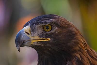 Golden Eagle Photograph - Golden Eagle by Garry Gay