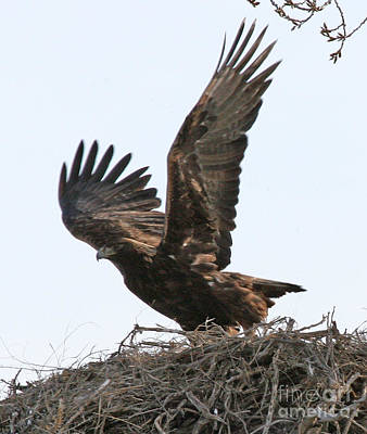 Print featuring the photograph Golden Eagle Takes Off by Bill Gabbert