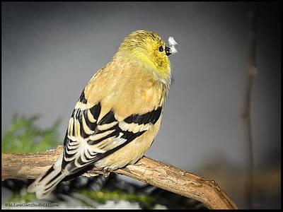 Canary Photograph - Golden Finch Catch 2 Snow Flakes by LeeAnn McLaneGoetz McLaneGoetzStudioLLCcom