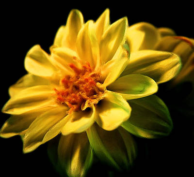 Abstract Photograph - Golden Flower  by Georgiana Romanovna
