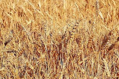 Field Of Crops Photograph - Golden Grains by Michelle Calkins