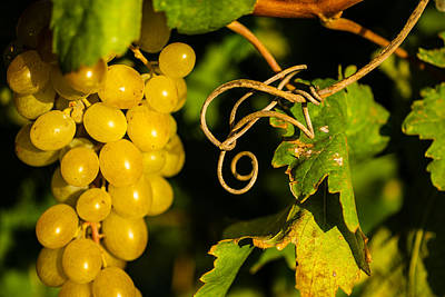 Golden Grapes On Vines Print by Meir  Jacob