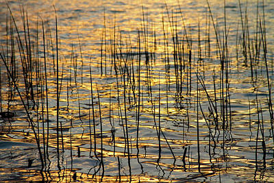 Golden Lake Ripples Print by James BO  Insogna