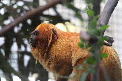 Lions Photograph - Golden Lion Tamarin - National Zoo - 01134 by DC Photographer