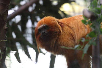 Golden Lion Tamarin - National Zoo - 01135 Print by DC Photographer
