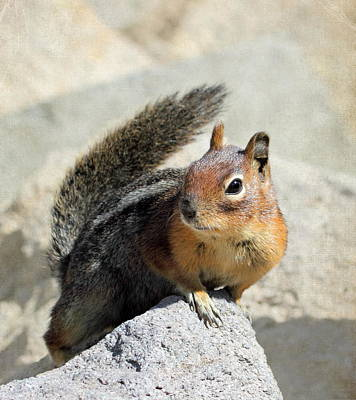 Golden Mantle Ground Squirrel Print by Angie Vogel