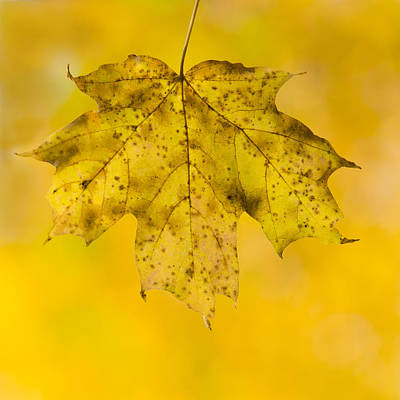 Golden Maple Leaf Print by Sebastian Musial