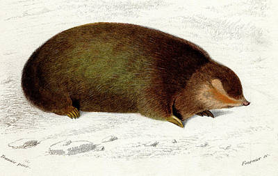 Golden Mole Print by Collection Abecasis