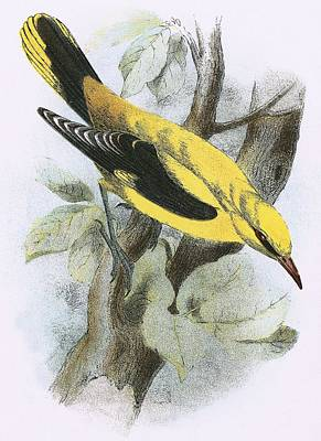 Orioles Drawing - Golden Oriole by English School