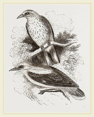 Oriole Drawing - Golden Orioles by Litz Collection