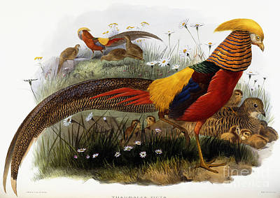 Reeds Drawing - Golden Pheasants by Joseph Wolf