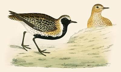 Plovers Painting - Golden Plover by Beverley R Morris