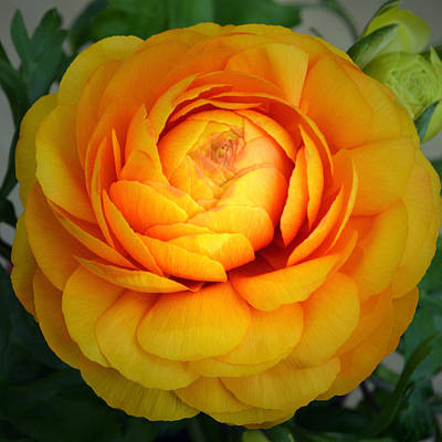 Golden Ranunculus. Original by Terence Davis