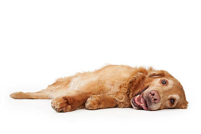 Golden Retriever Dog Laying Down  Print by Susan  Schmitz