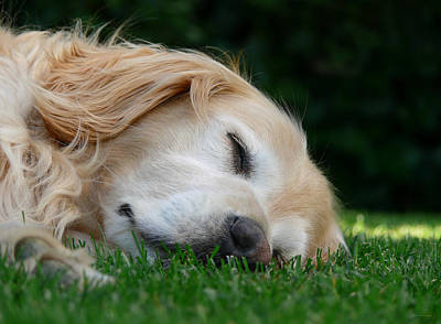 Sleeping Dogs Photograph - Golden Retriever Dog Sweet Dreams by Jennie Marie Schell