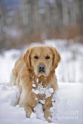 Golden Retriever In Snow Print by Rolf Kopfle