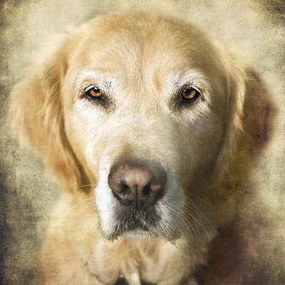 Soulful Eyes Photograph - Golden Retriever Portrait by Wolf Shadow  Photography