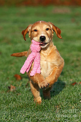 Golden Retriever Puppy Playing With Toy Print by Dog Photos