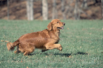 Golden Retriever Running Print by David Davis
