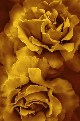 Golden Yellow Roses Print by Jennie Marie Schell