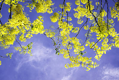 Cassia Blossoms Photograph - Golden Shower by VistoOnce Photography