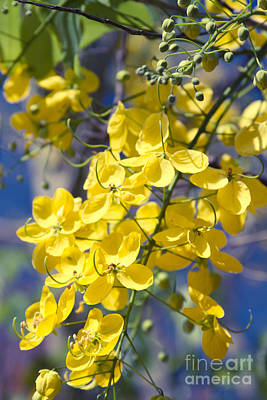 Cassia Photograph - Golden Shower Tree - Cassia Fistula - Kula Maui Hawaii by Sharon Mau