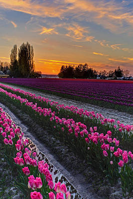 Festival Photograph - Skagit Tulips Golden Sunset Layers by Mike Reid