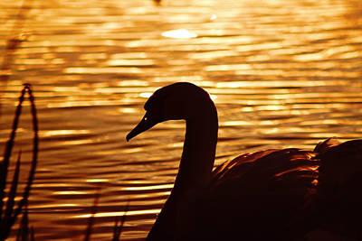 Golden Swan Print by Catherine Davies
