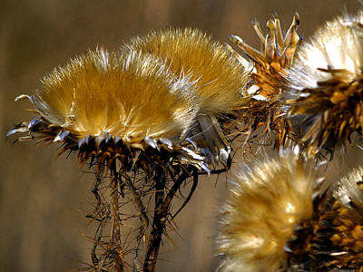 Thistles Photograph - Golden Thistle by Bill Gallagher