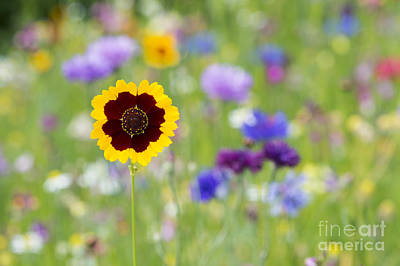 Aster Photograph - Golden Tickseed by Tim Gainey