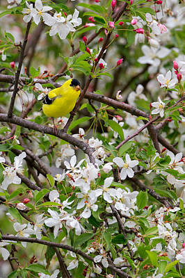 Finch Photograph - Goldfinch by Bill Wakeley