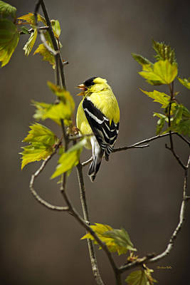 Finch Photograph - Goldfinch Suspended In Song by Christina Rollo