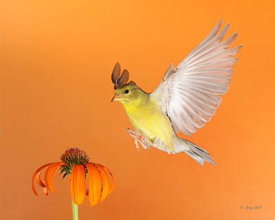 Goldie And The Coneflower Print by Gerry Sibell