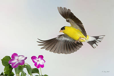 Goldie Confronting His Impatiens Print by Gerry Sibell