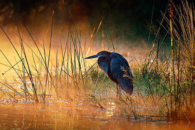 Golden Light Photograph - Goliath Heron With Sunrise Over Misty River by Johan Swanepoel