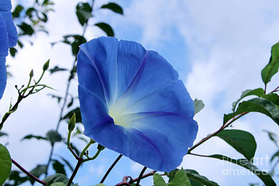 Vines Photograph - Good Morning Glory by Cathy  Beharriell