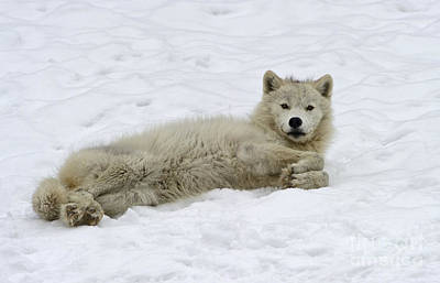 Arctic Wolf Photograph - Good Wolfie ... by Nina Stavlund