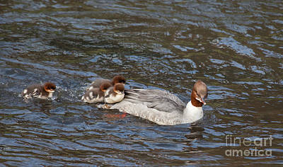 Duck Photograph - Goosander / Common Merganser  With Fluffy Ducklings by Liz Leyden