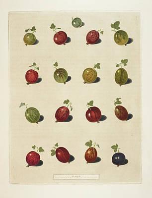 Pomona Photograph - Gooseberries by British Library