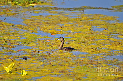 Small Turtle Photograph - Gorgeous Grebe by Al Powell Photography USA